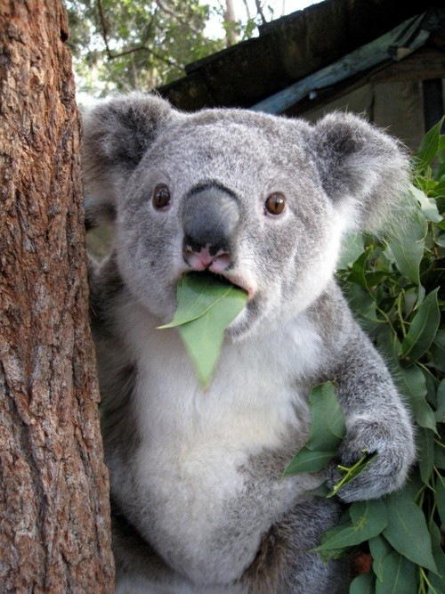 The reaction of a Koala, knowing that today... is FRIDAY !