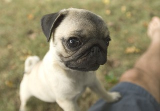 Tiny Pug (n_n)