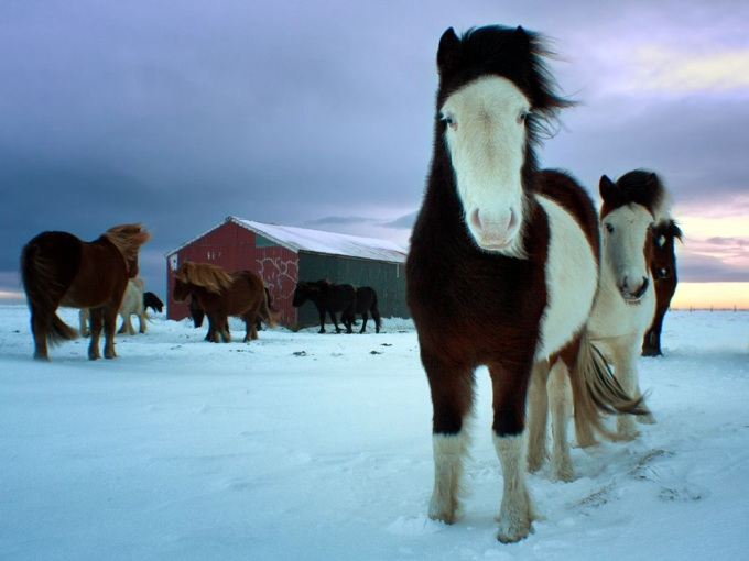 Horses from the Southern Iceland ( ^ω^)