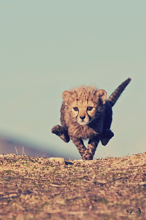 Little Cheetah ( ̄ー ̄)