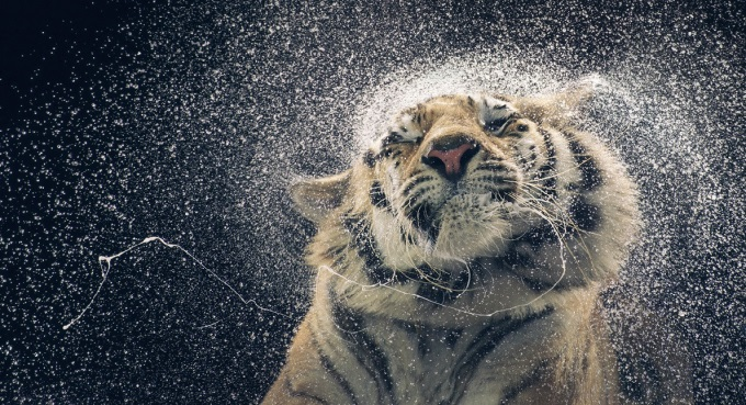 Tiger shaking dry ヽ(´ー`)