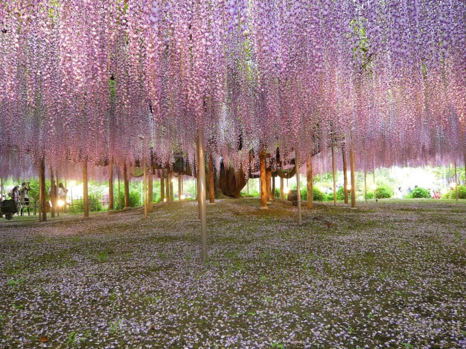 Japanese Wisteria (^-^)/