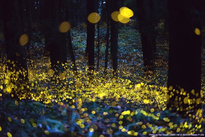 Photograph effect of Fireflies just before the night (^ー^)ノ