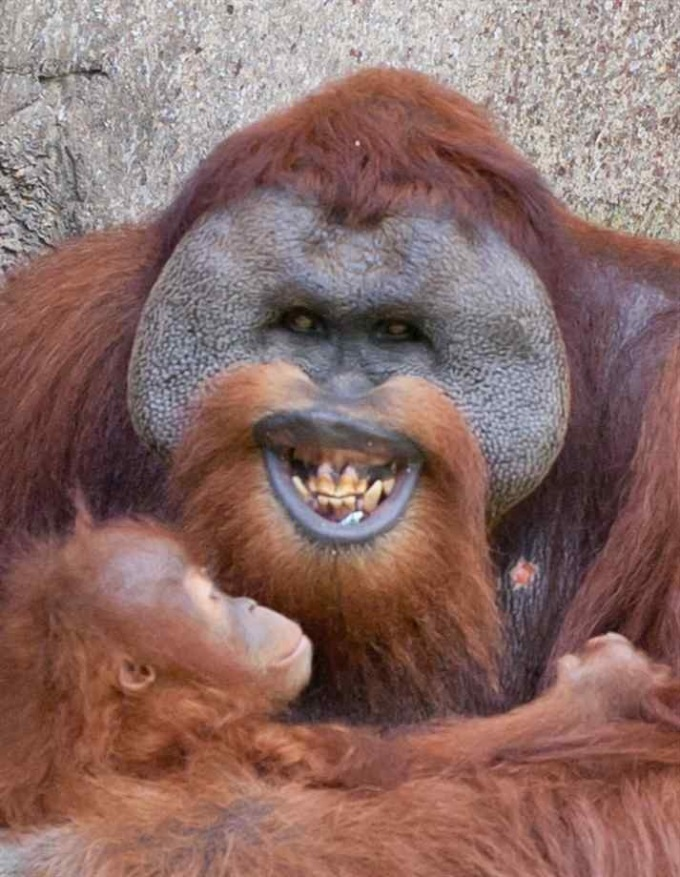 One happy orangutan (that may or may not eat your soul)  (´・ω・`)