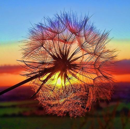 Sunset through a dandelion ヾ(⌒ー⌒)ノ