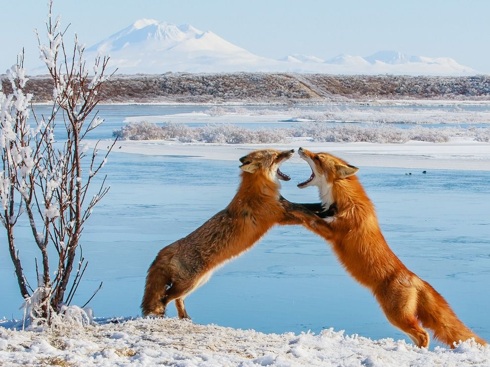 ʕ•ᴥ•ʔ Two foxes sparring in Alaska ʕ•ᴥ•ʔ