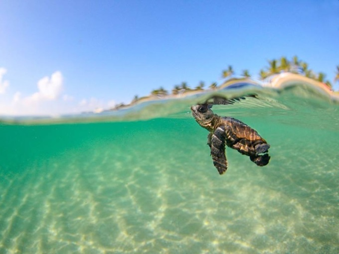 Amazing picture of a baby sea turtle, off the coast of Bora Bora (^_^)'/