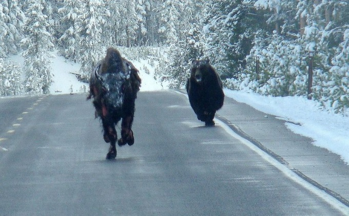 ( ゚ Д゚)Grizzly bear chasing down a bison on a highway