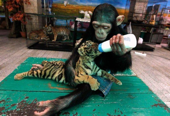 Baby chimp feeds 60 day old tiger cub ヾ(⌒ー⌒)ノ