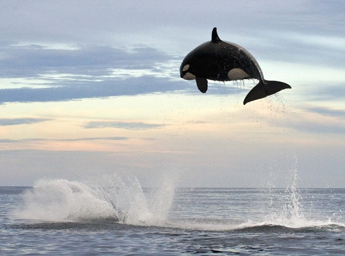 8 ton Orca jumping 15ft out of the water ヾ(⌒ー⌒)