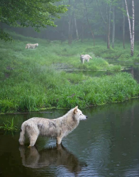 Three wolves in Quebec (Taken by Daniel Parent)