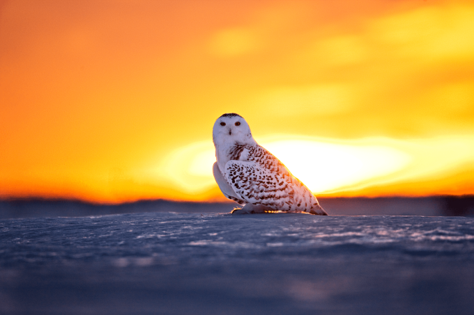 Good morning from a snowy owl (n_n)/