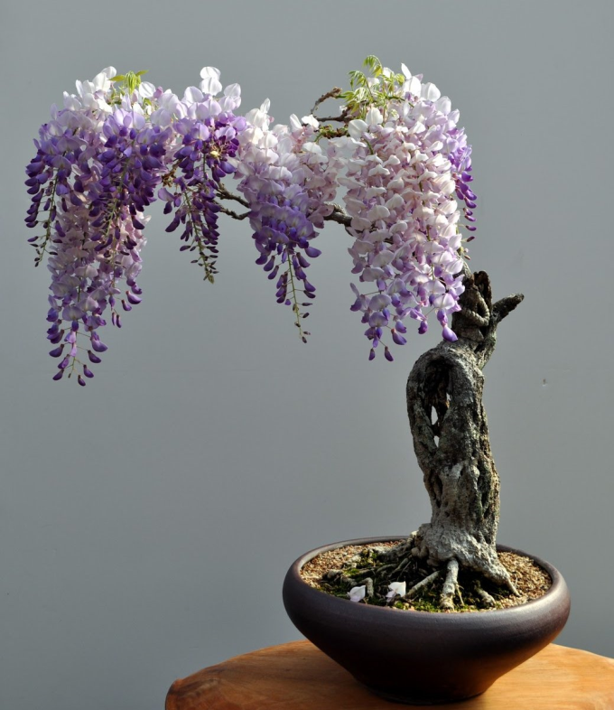 Bonsai Wisteria (^ー^)ノ