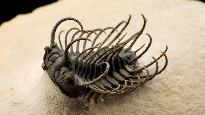 (╯°□°)╯ A well-preserved trilobite specimen from Morocco that lived during the Devonian Period roughly 400 million years ago