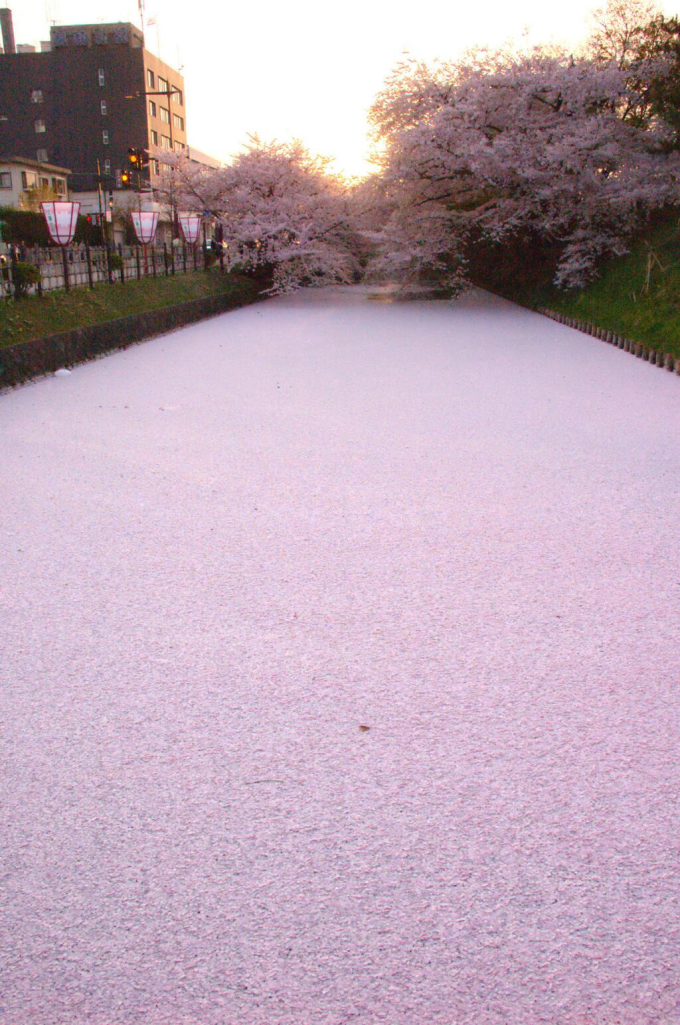 River filled with Cherry Blosom Petals,  Hirosaki, Japan (≧∇≦)/