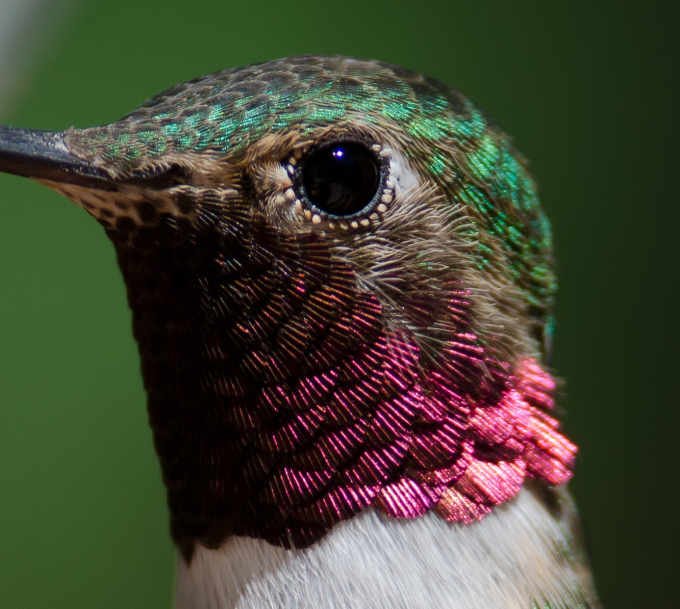Close up look at a hummingbird's feathers ^_^