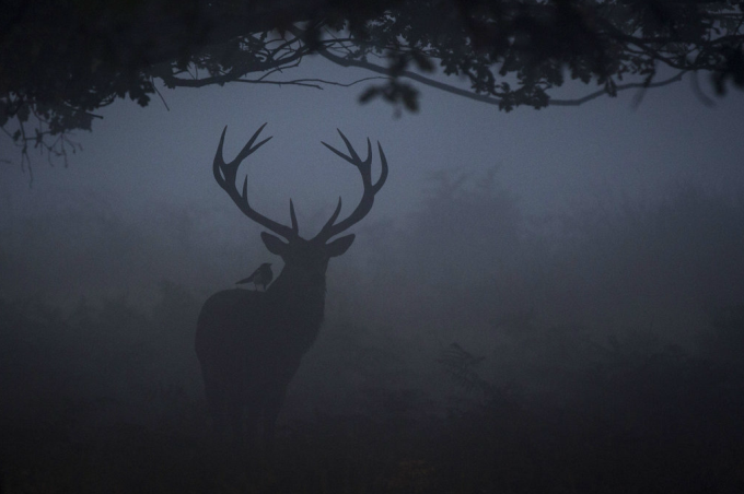 A red deer seen through the morning mist Richmond Park, London. :)
