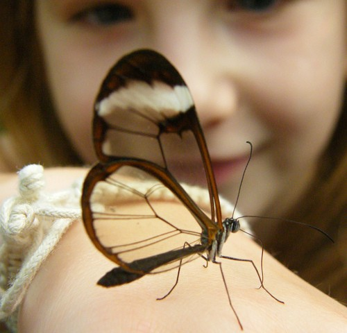 Transparent Butterfly (^-^)/
