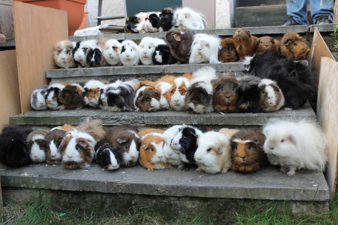 This looks like a senior class picture of guinea pigs (≧∇≦)/