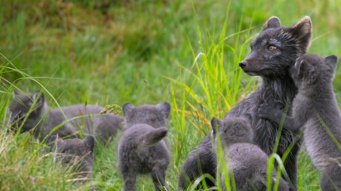 Arctic fox family ^_^