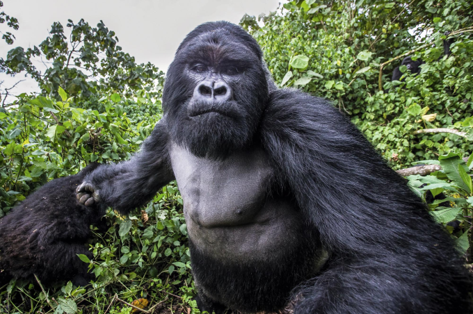 Picture of a Mountain Gorilla right before he punched the photographer ( ゚ Д゚)