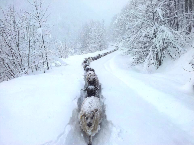 Sheep snow trail (⌒ー⌒)ノ