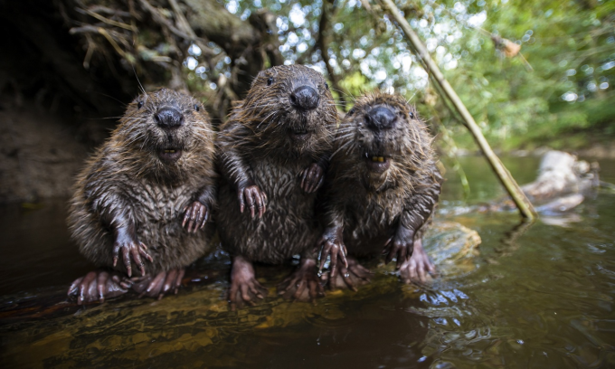 3 Beavers chilling by the water ʕ•ᴥ•ʔ