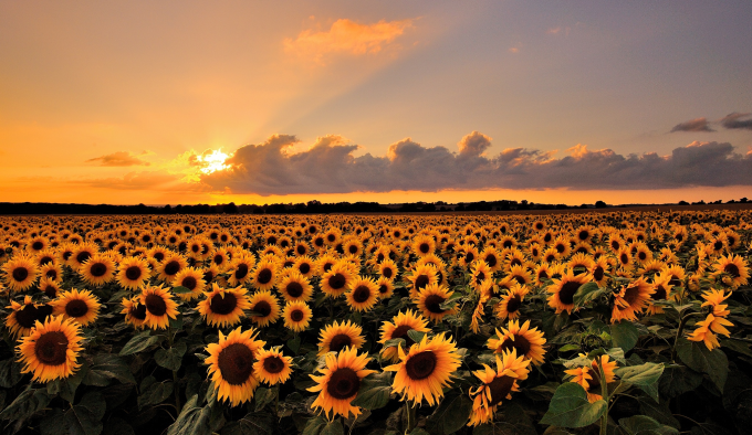 A sunflower sunset :)