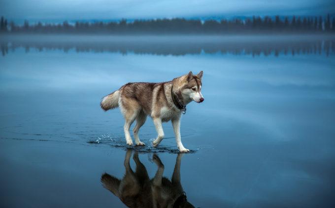 A husky walks on water in northern Russia. The image was taken after heavy rainfall covered the frozen lake. (*_*)/