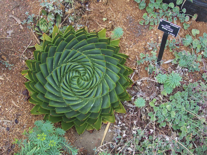 The Aloe polyphylla plant ~(','~)