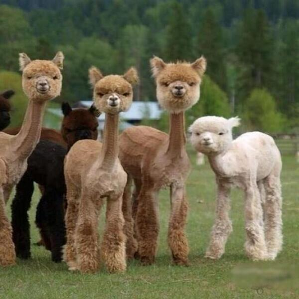 Llamas After Fleecing :P