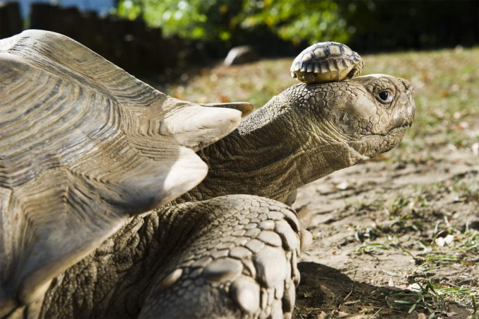 A 140-year-old tortoise wearing her 5-day-old son as a hat. ~(','~)