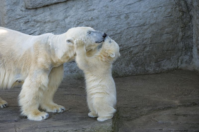Polar Bear kissing mom (⌒ー⌒)ノ