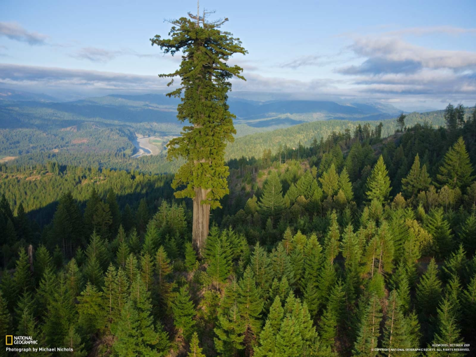 Hyperion, the tallest tree in the world. ヽ(´ー`)