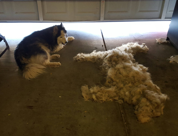 Brush a Husky, get one free :P