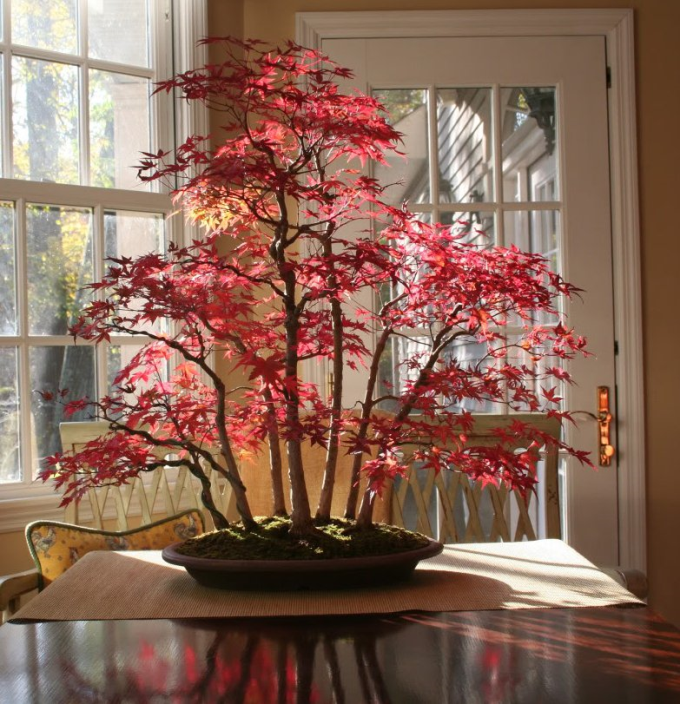 Bonsai Maple Forest in Autumn ^_^