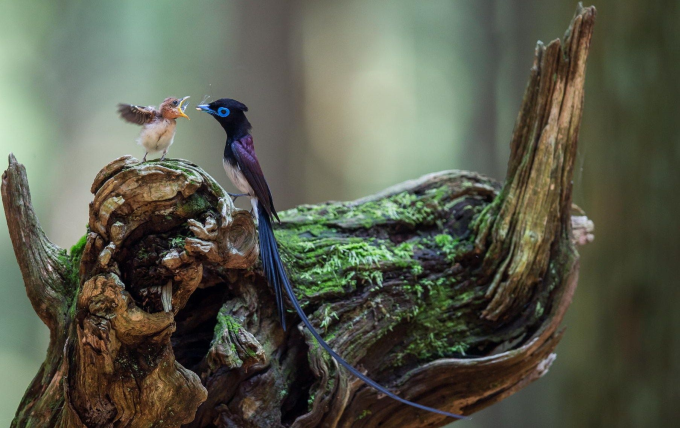 Japanese paradise flycatcher feeding it's baby ^_^
