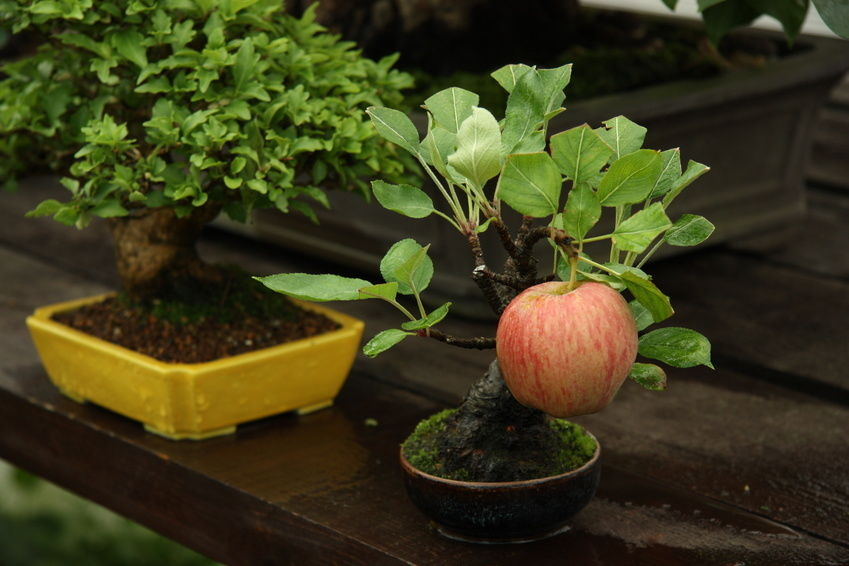 Bonsai apple tree growing a full-sized apple :)