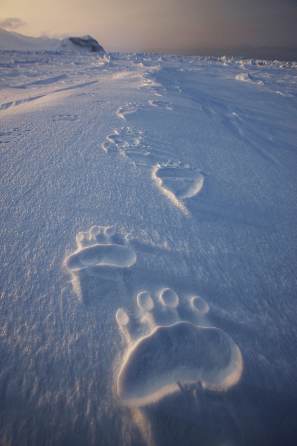 Polar bear tracks :)