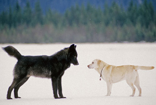 Wolf compared to labrador :)