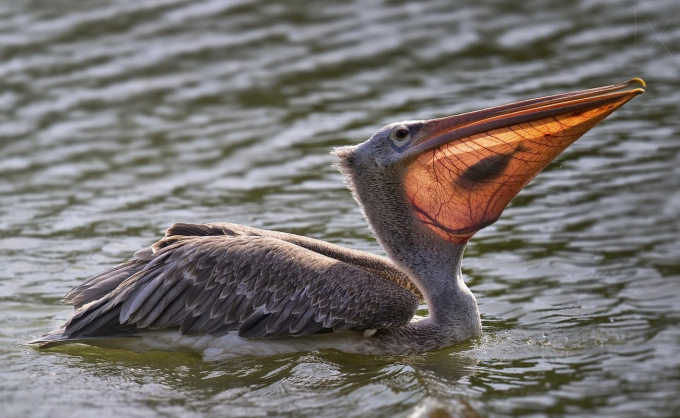 When the sun hits the pelican's beak just right :P