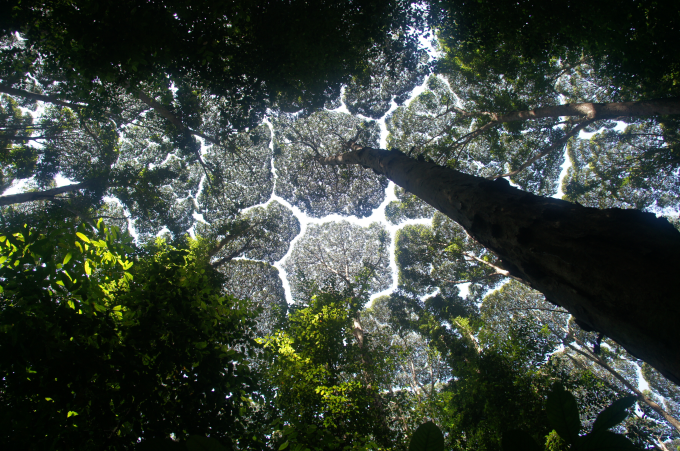 The canopies of these trees don't ever touch eachother, it's a natural phenomenon called 'crown shyness' (ʘᗩʘ')