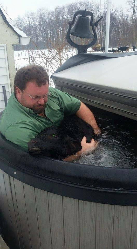 This farmer had a calf born in a snow storm and had to raise its body temperature