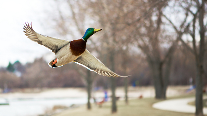 Ridiculously Photogenic Flying Mallard :P