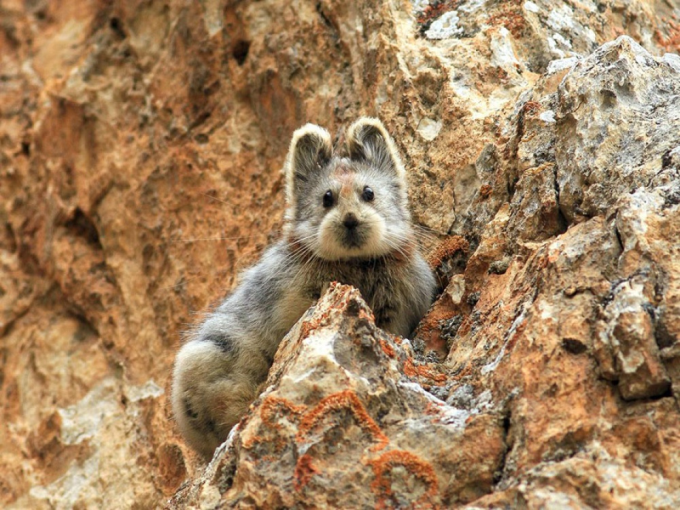 Rare 'Ili Pika rabbit has been photographed for the first time in 20 years :)