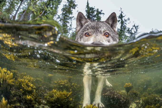 Wolf checking out partially submerged camera :)