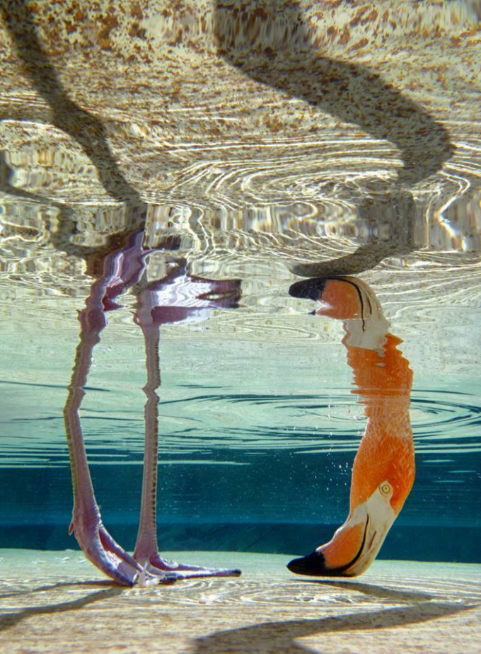 Flamingo from beneath the water