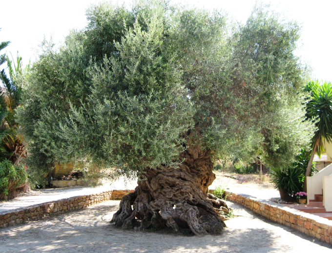 2,000 year old Olive tree in Greece o_O