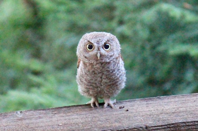 The little owl with an intense look O_O