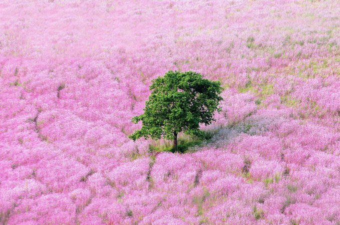 Lavender Fields with Lonely Tree